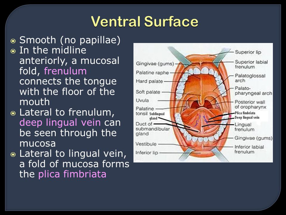 Ventral Surface Smooth (no papillae)