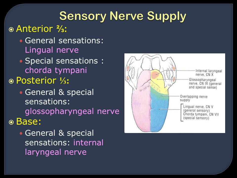 Sensory Nerve Supply Anterior ⅔: Posterior ⅓: Base:
