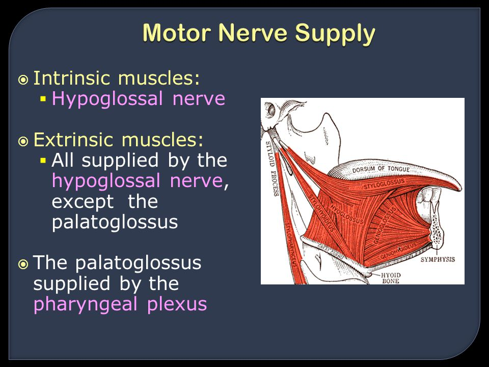 Motor Nerve Supply Intrinsic muscles: Hypoglossal nerve