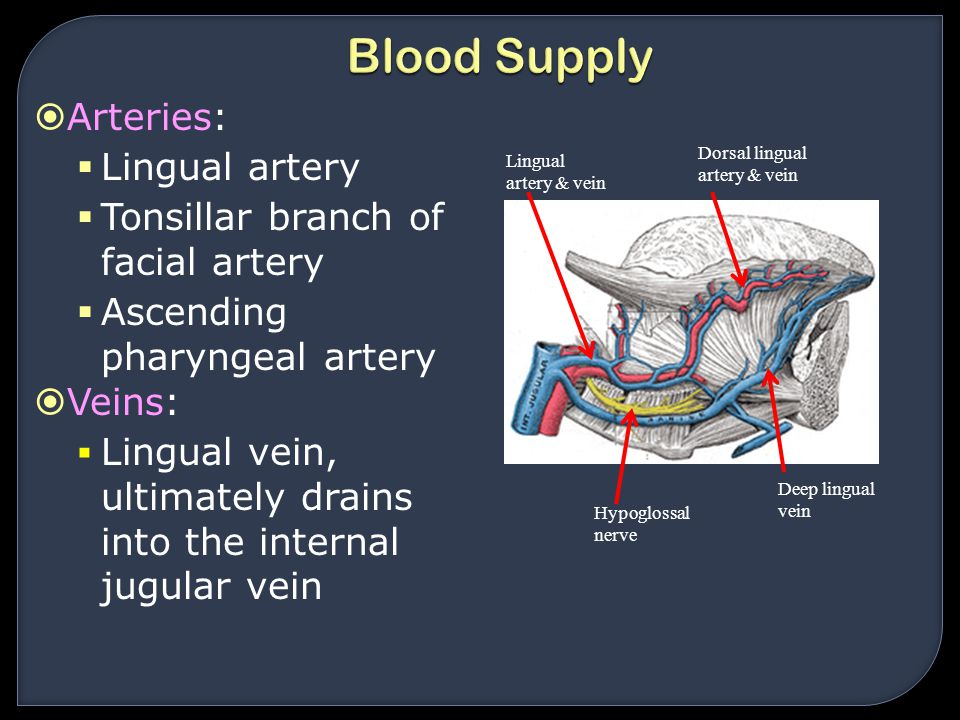 Blood Supply Arteries: Lingual artery