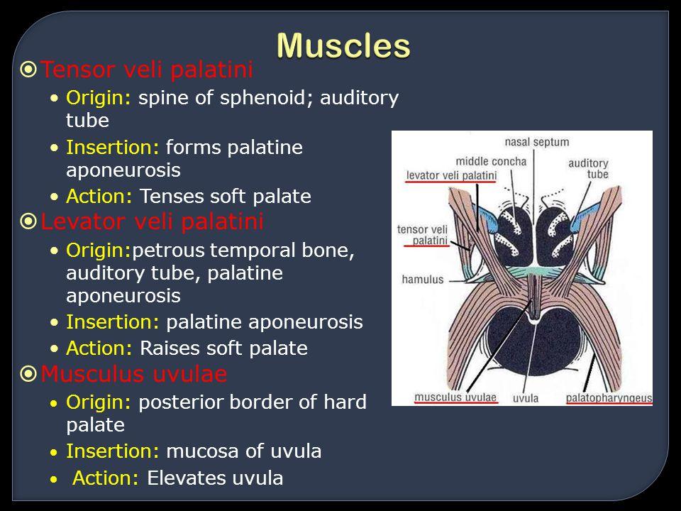 Muscles Tensor veli palatini Levator veli palatini Musculus uvulae