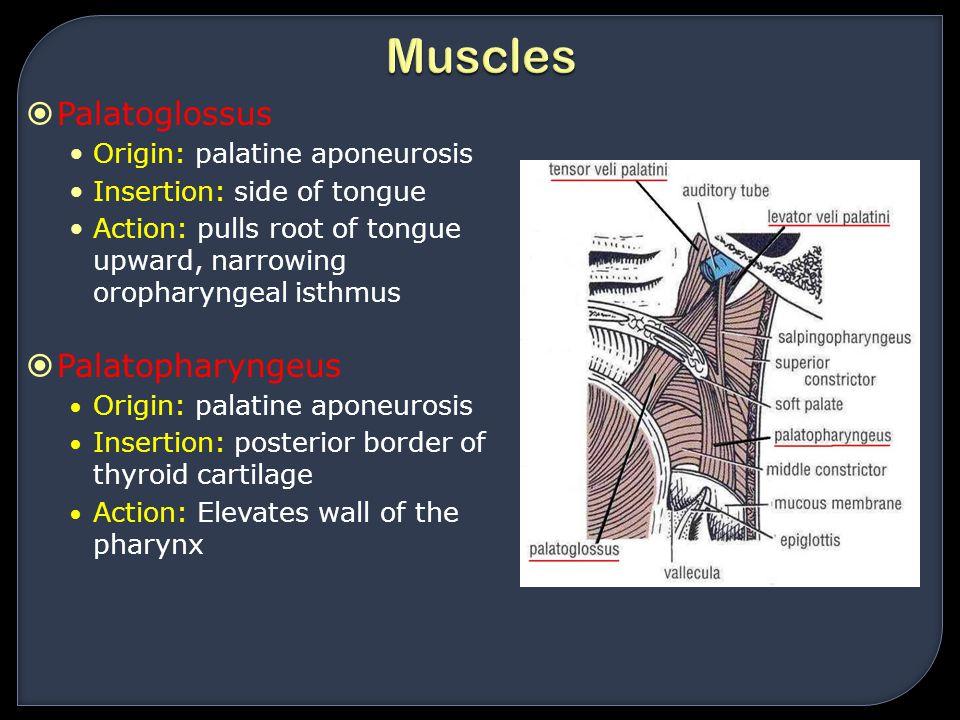 Muscles Palatoglossus Palatopharyngeus Origin: palatine aponeurosis
