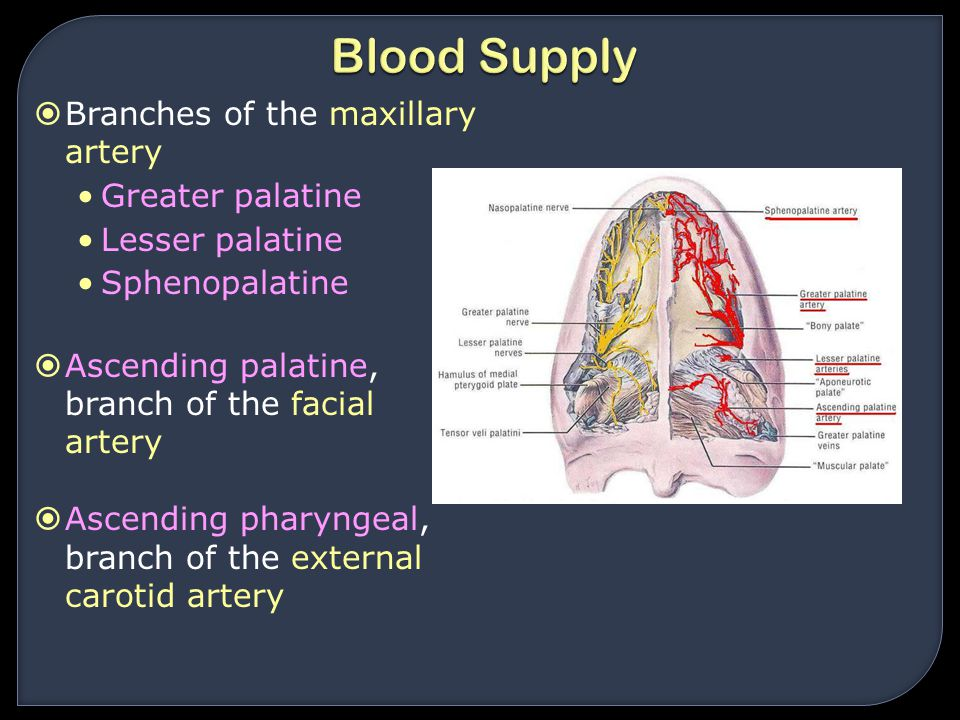 Blood Supply Branches of the maxillary artery Greater palatine