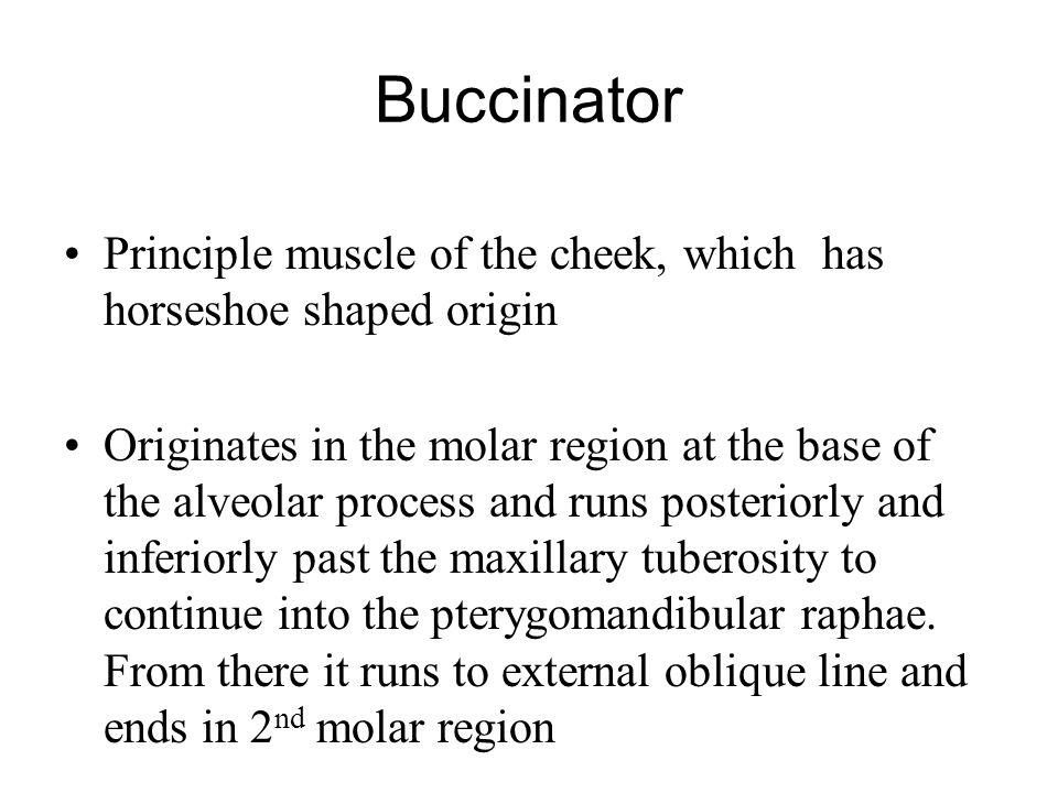 Buccinator Principle muscle of the cheek, which has horseshoe shaped origin.