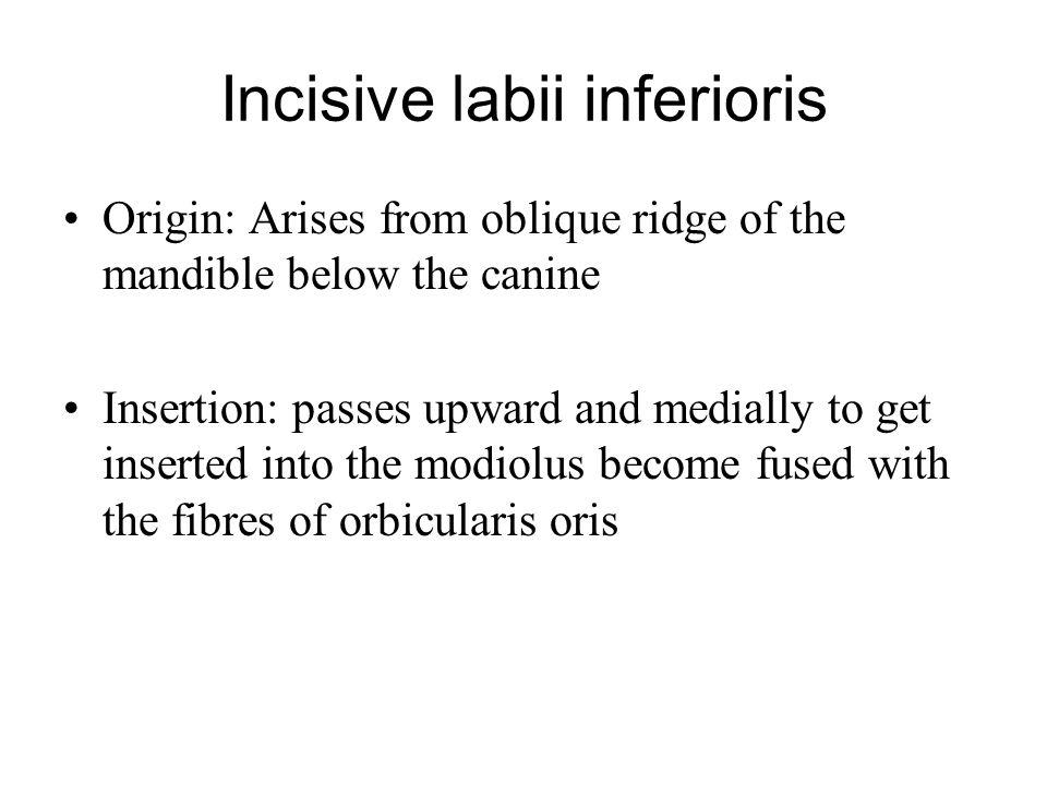 Incisive labii inferioris