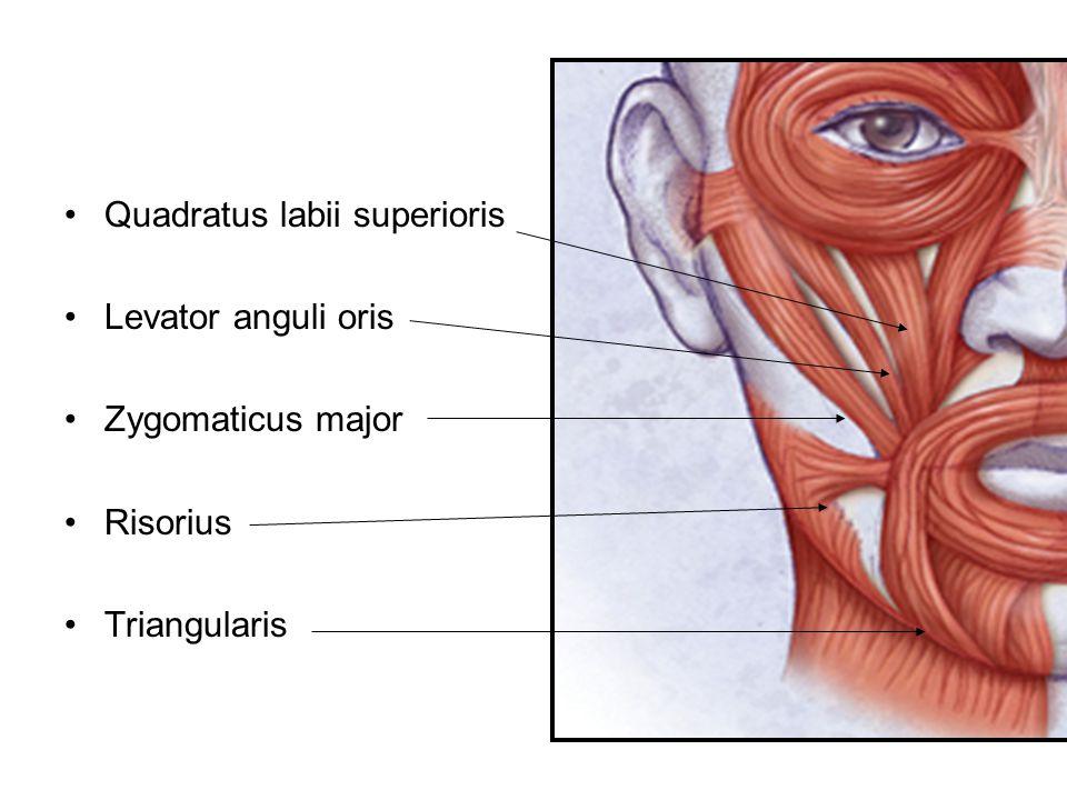 Quadratus labii superioris