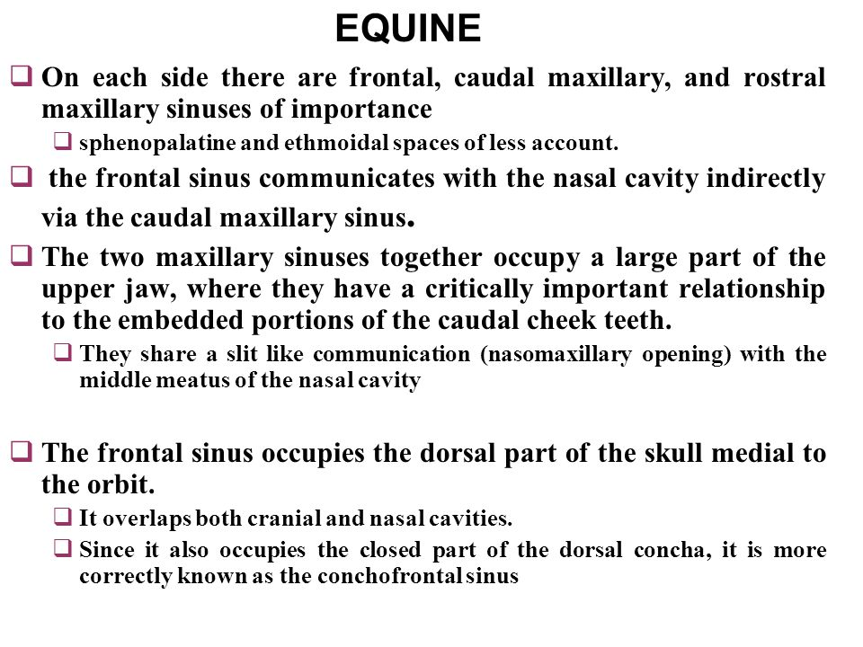 EQUINE On each side there are frontal, caudal maxillary, and rostral maxillary sinuses of importance.