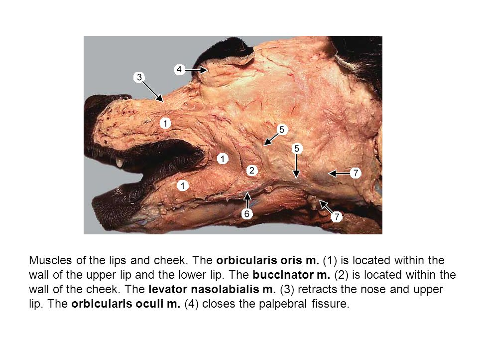 Muscles of the lips and cheek. The orbicularis oris m