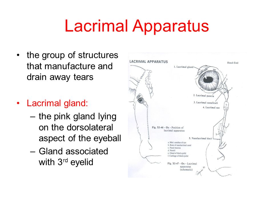Lacrimal Apparatus the group of structures that manufacture and drain away tears. Lacrimal gland: