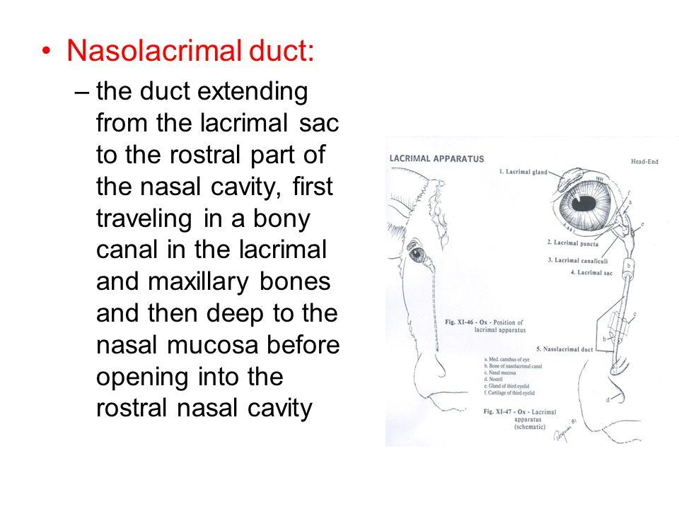 Nasolacrimal duct: