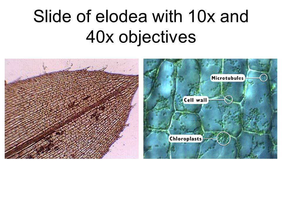 Slide of elodea with 10x and 40x objectives