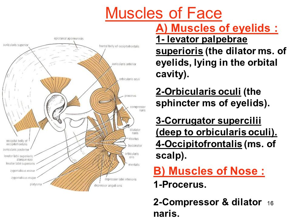 Muscles of Face A) Muscles of eyelids : B) Muscles of Nose :