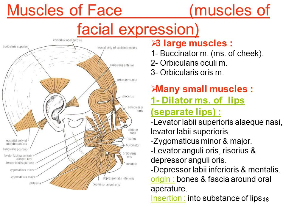 Muscles of Face (muscles of facial expression)