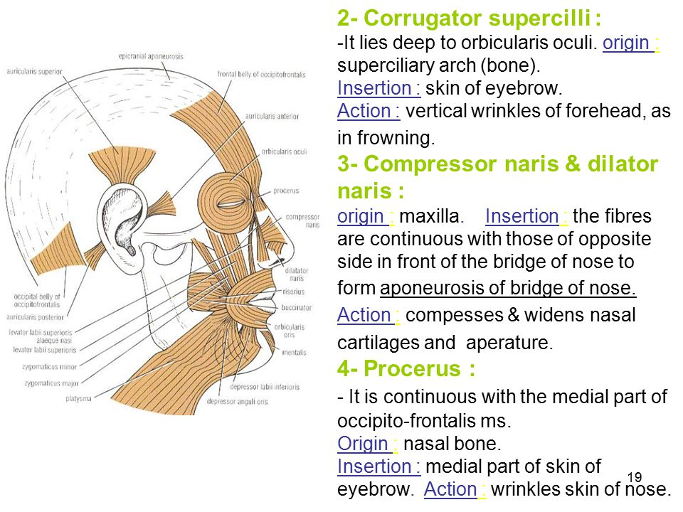 2- Corrugator supercilli : -It lies deep to orbicularis oculi