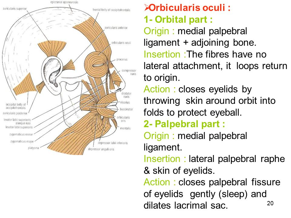 Orbicularis oculi : 1- Orbital part : Origin : medial palpebral ligament + adjoining bone.