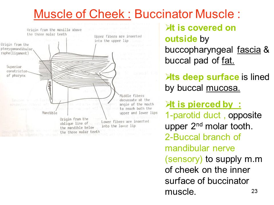 Muscle of Cheek : Buccinator Muscle :