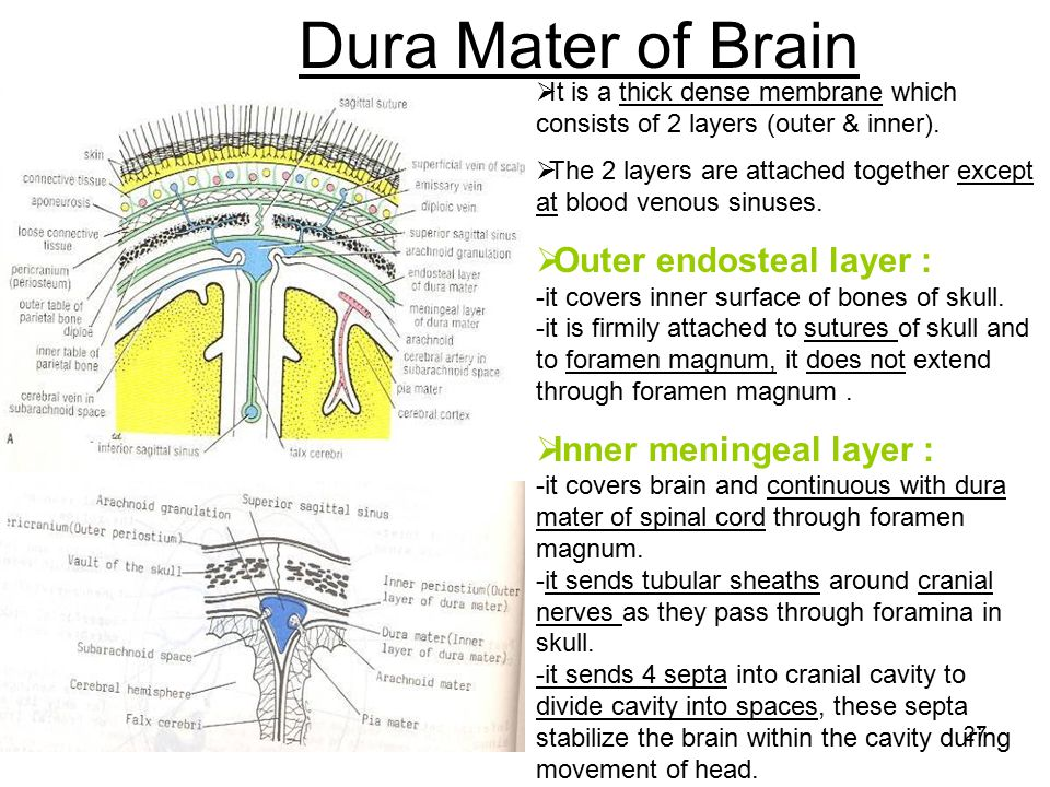 Dura Mater of Brain It is a thick dense membrane which consists of 2 layers (outer & inner).