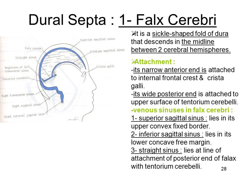 Dural Septa : 1- Falx Cerebri