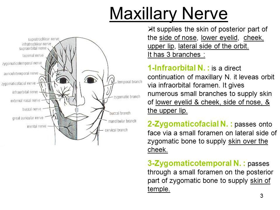 Maxillary Nerve