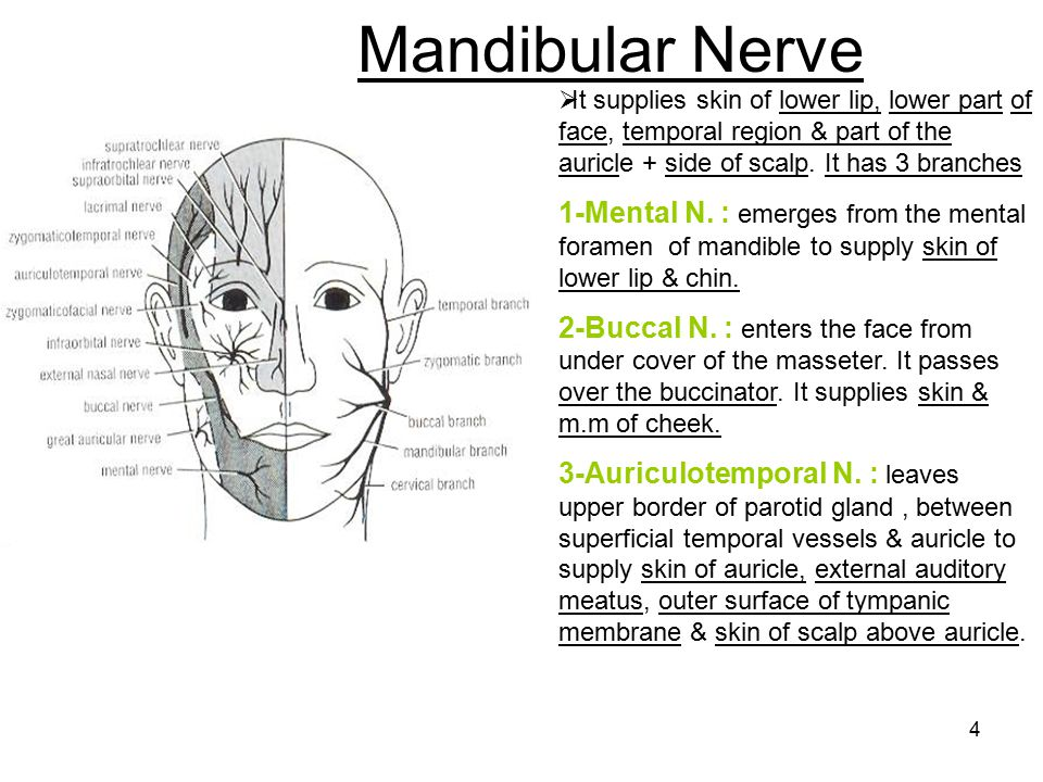 Mandibular Nerve It supplies skin of lower lip, lower part of face, temporal region & part of the auricle + side of scalp. It has 3 branches.