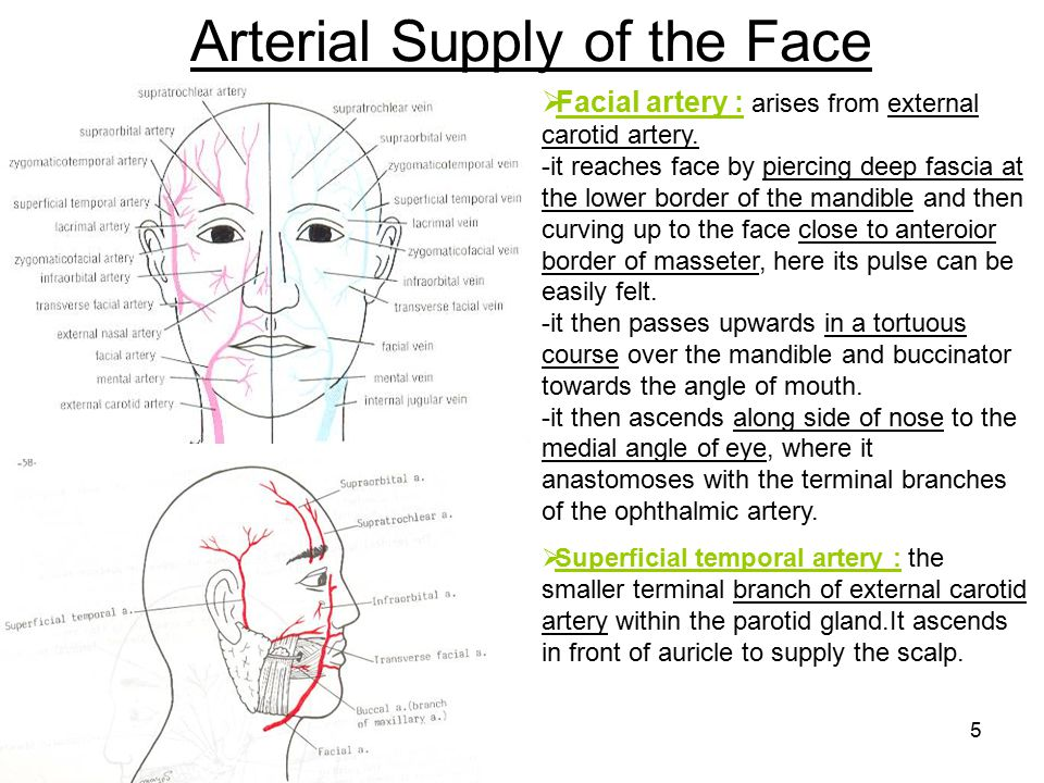 Arterial Supply of the Face