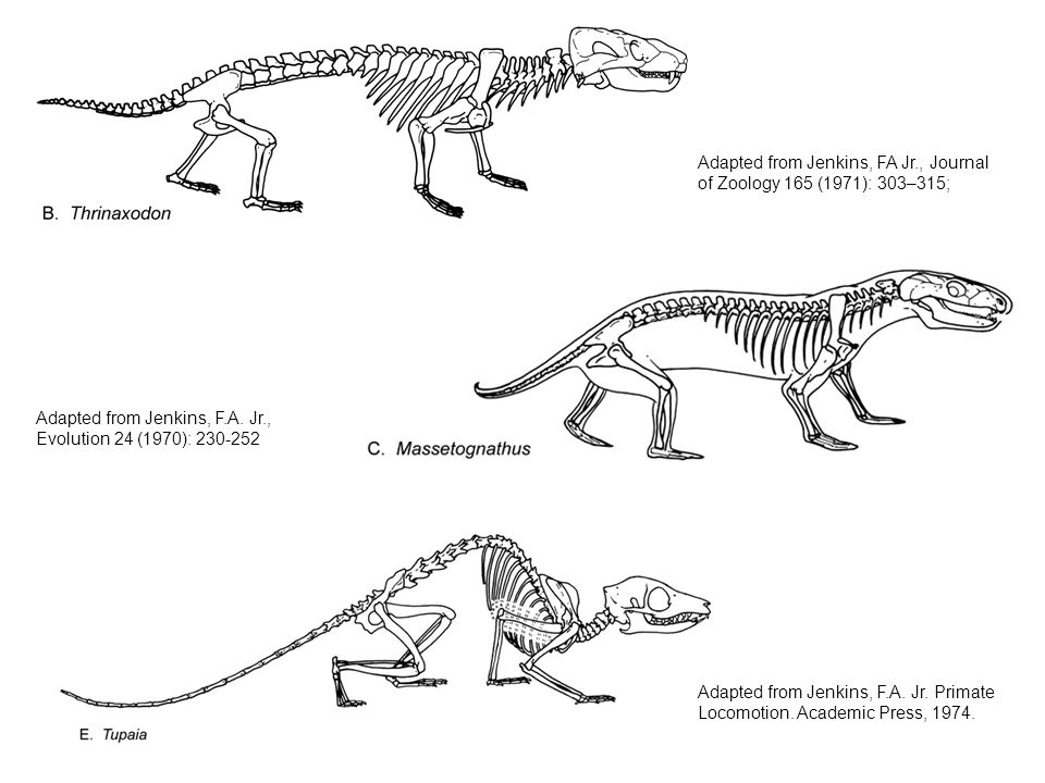 Adapted from Jenkins, FA Jr., Journal of Zoology 165 (1971): 303–315;