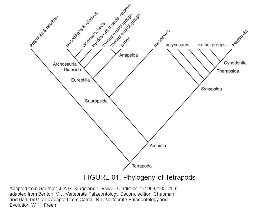 FIGURE 01: Phylogeny of Tetrapods