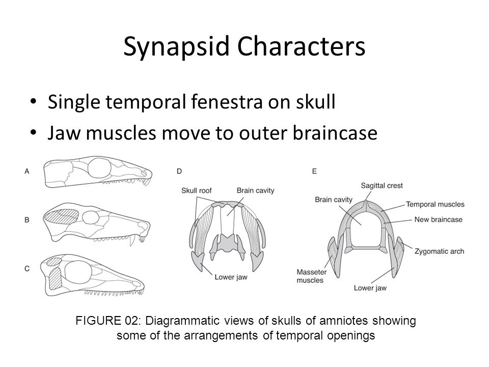Synapsid Characters Single temporal fenestra on skull