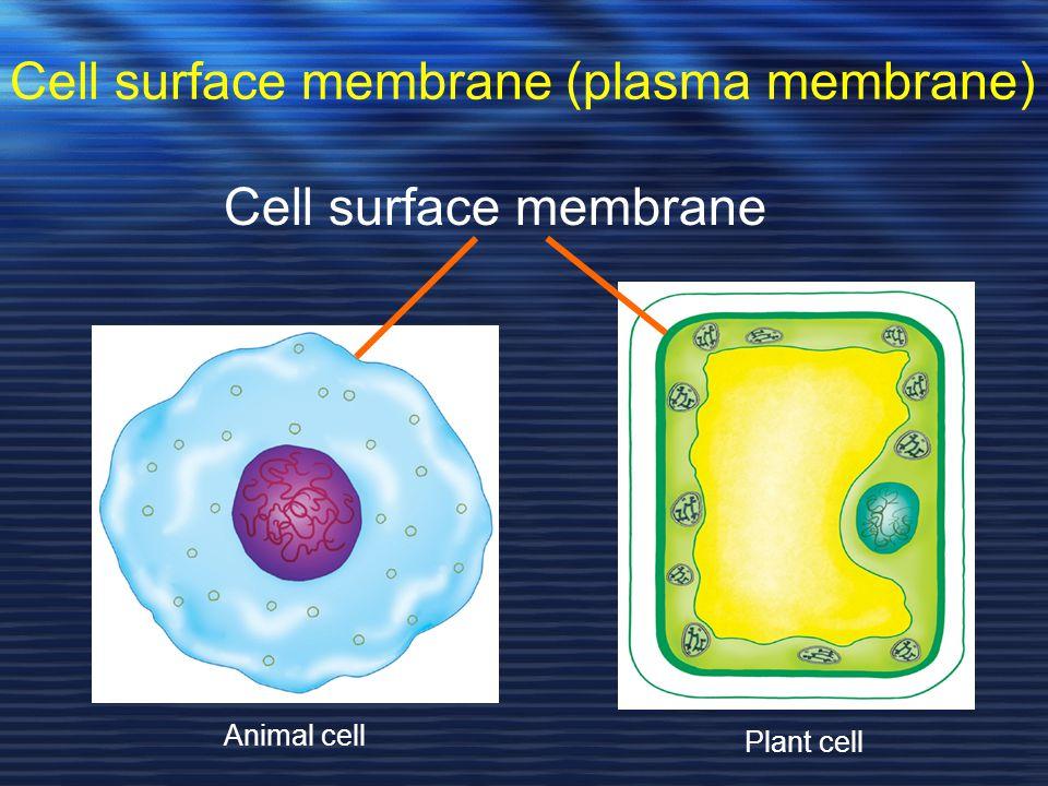 Cell surface membrane (plasma membrane)