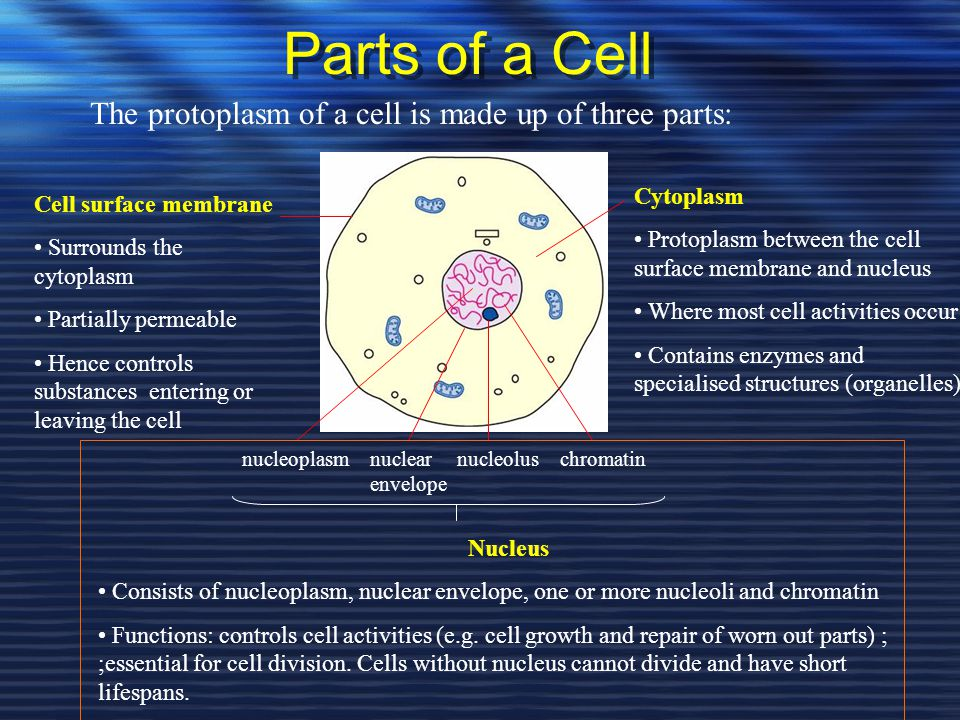 Parts of a Cell The protoplasm of a cell is made up of three parts: