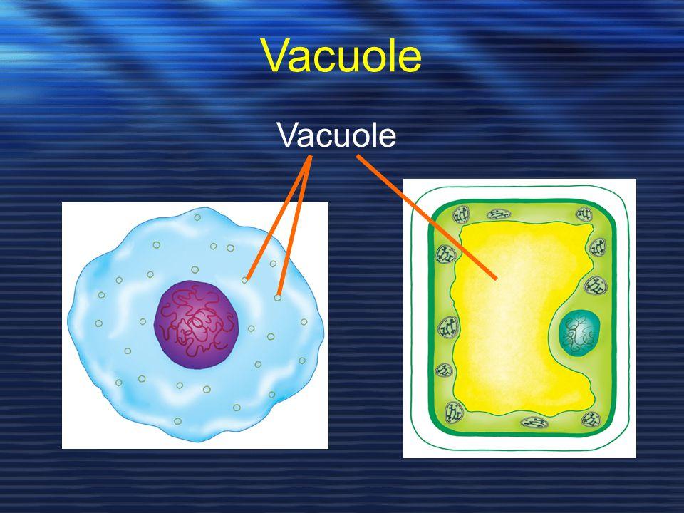 Vacuole Vacuole