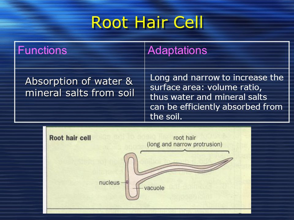 Root Hair Cell Functions Adaptations