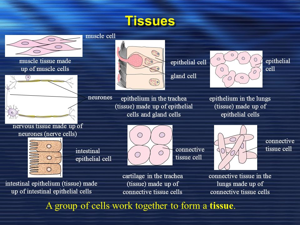 Tissues A group of cells work together to form a tissue. muscle cell