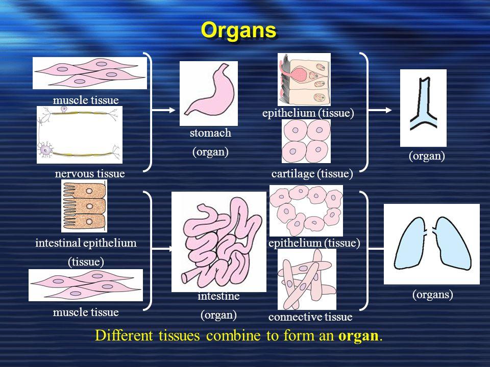 intestinal epithelium (tissue)