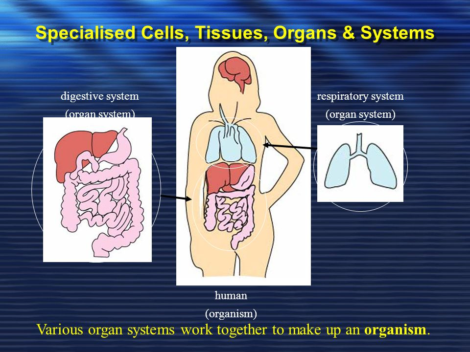 Specialised Cells, Tissues, Organs & Systems