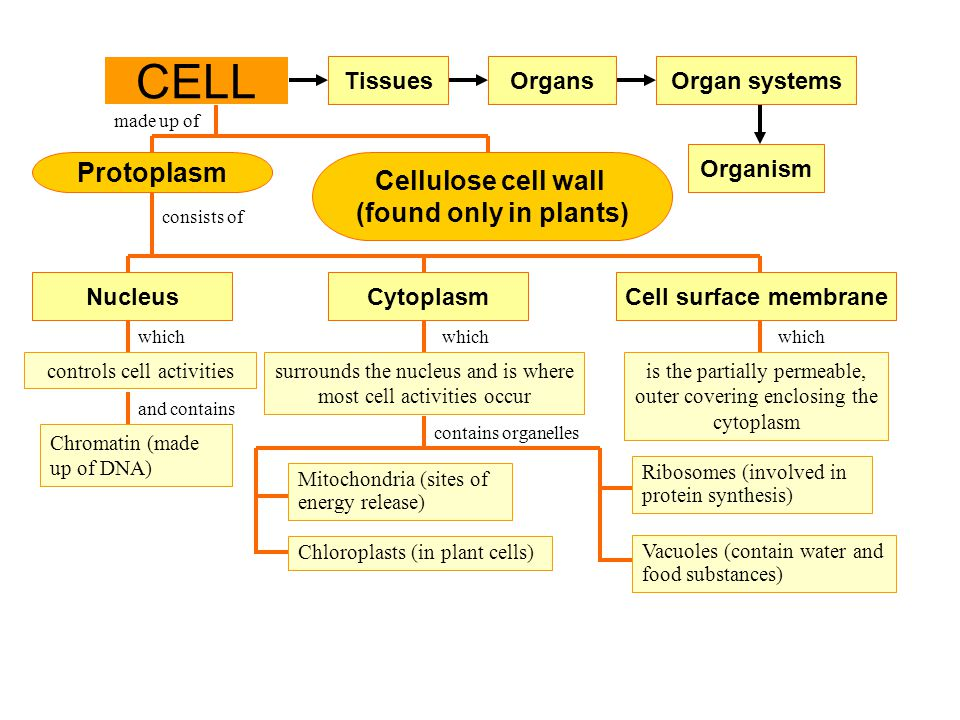 CELL Protoplasm Cellulose cell wall (found only in plants) Tissues