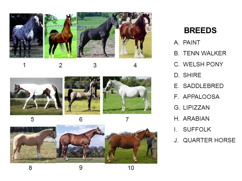 BREEDS PAINT. TENN WALKER. WELSH PONY. SHIRE. SADDLEBRED. APPALOOSA. LIPIZZAN. ARABIAN. SUFFOLK.