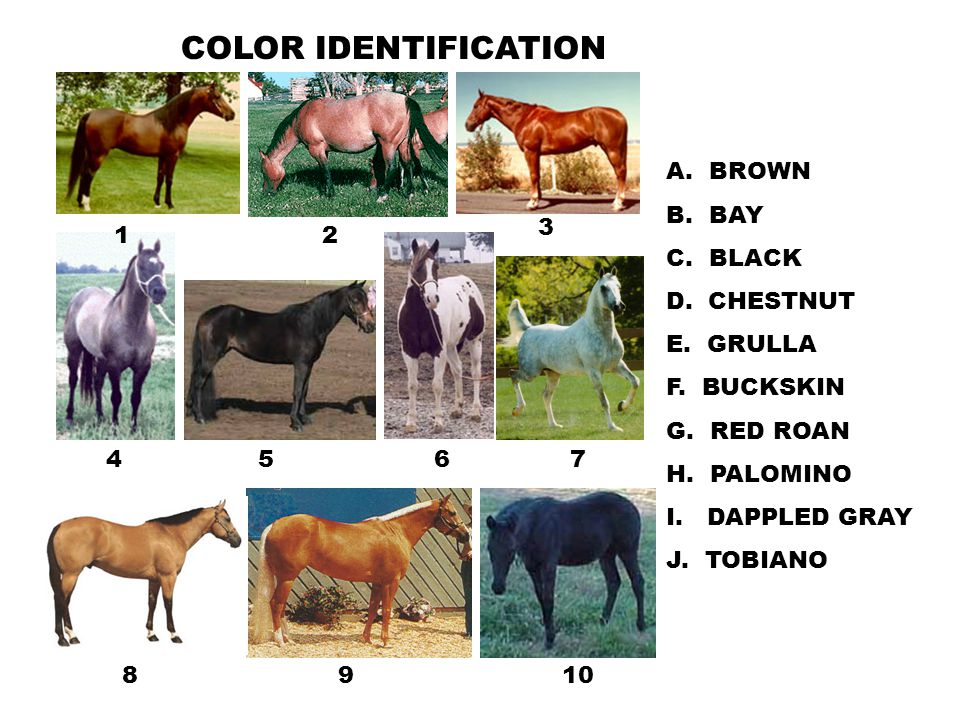 COLOR IDENTIFICATION A. BROWN B. BAY C. BLACK D. CHESTNUT E. GRULLA