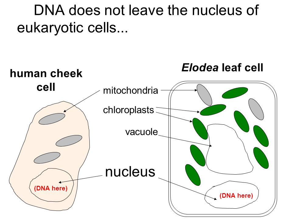 DNA does not leave the nucleus of eukaryotic cells