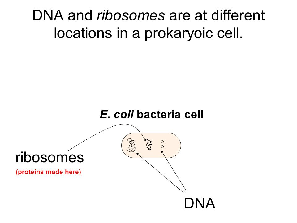 DNA and ribosomes are at different locations in a prokaryoic cell.