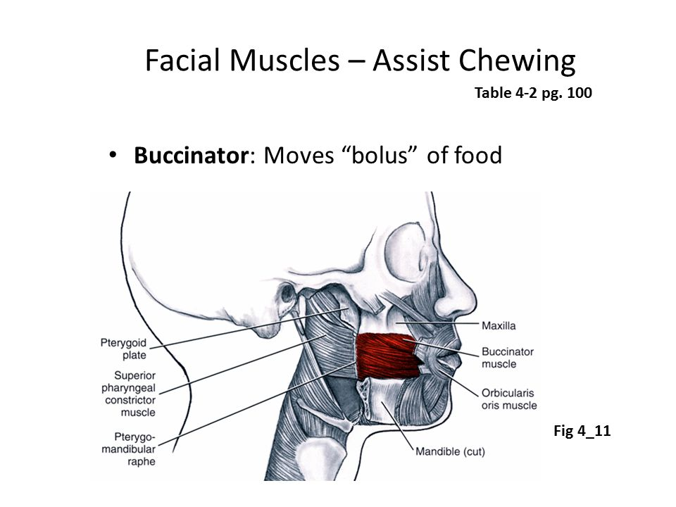 Facial Muscles – Assist Chewing