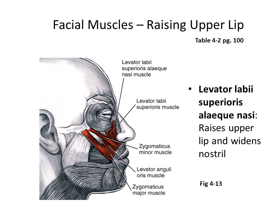 Facial Muscles – Raising Upper Lip