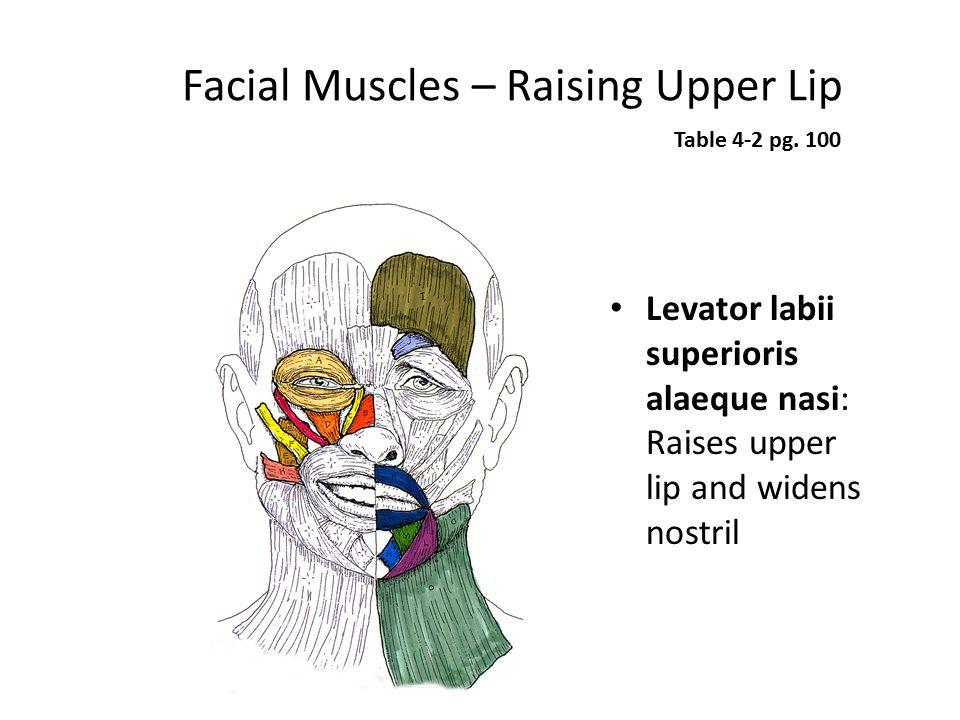 Facial Muscles – Raising Upper Lip