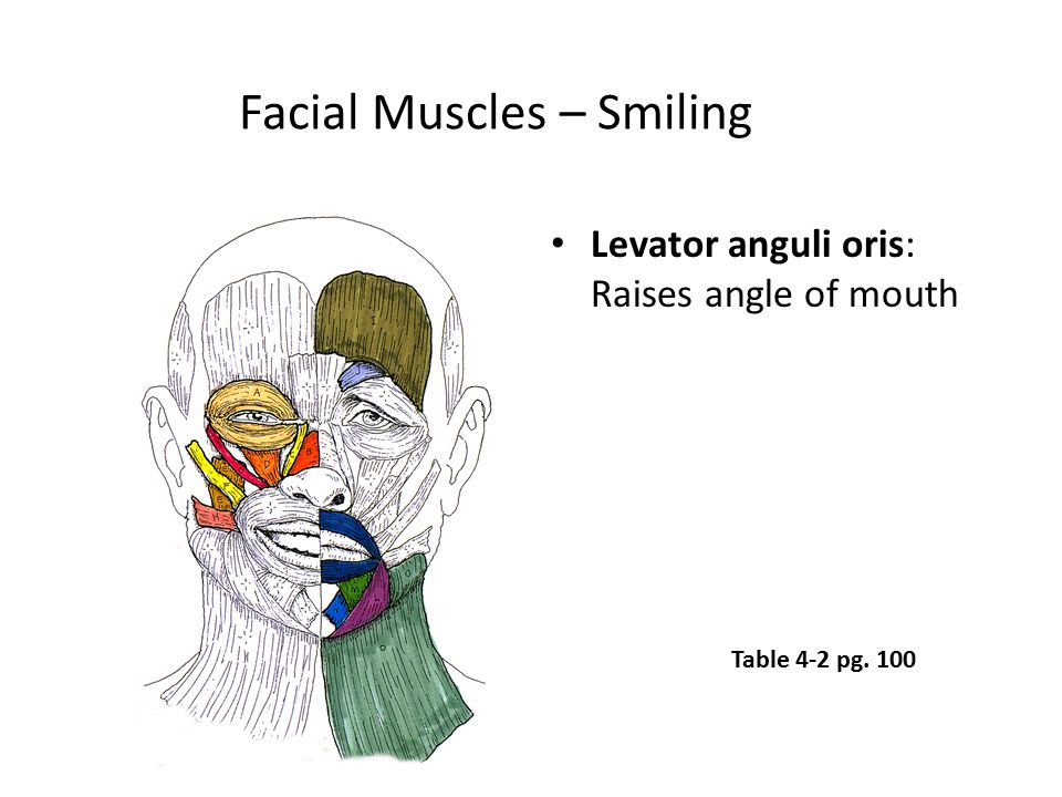 Facial Muscles – Smiling