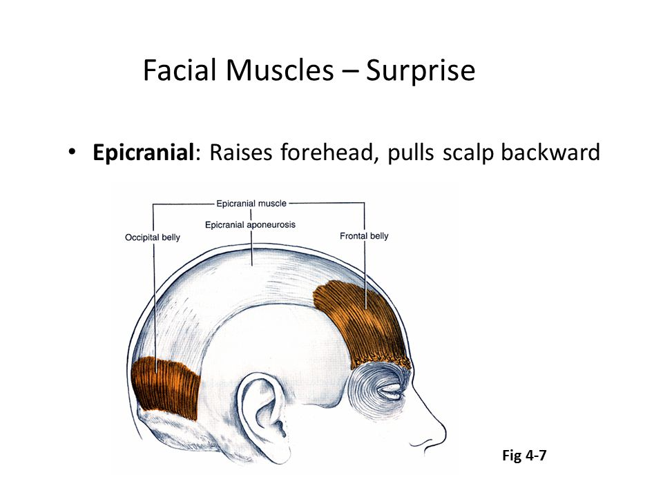 Facial Muscles – Surprise