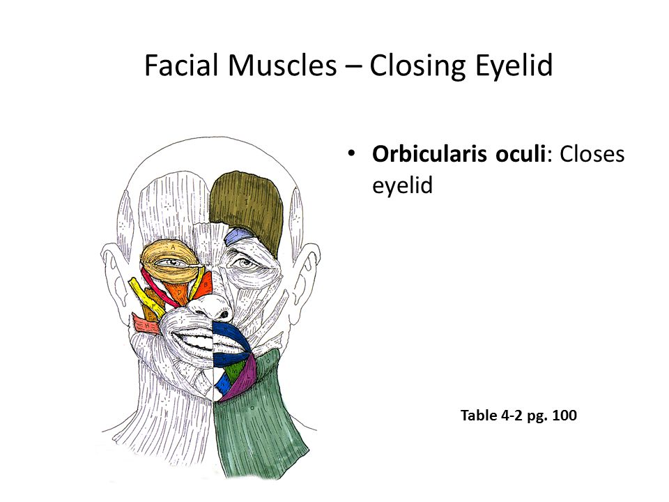 Facial Muscles – Closing Eyelid