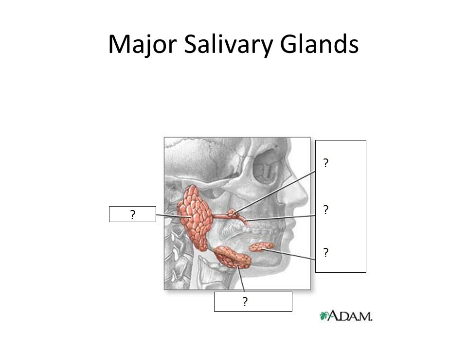 Major Salivary Glands