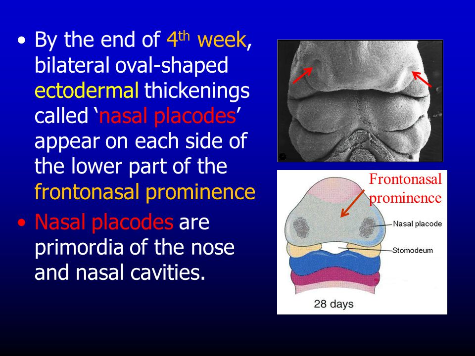 Nasal placodes are primordia of the nose and nasal cavities.