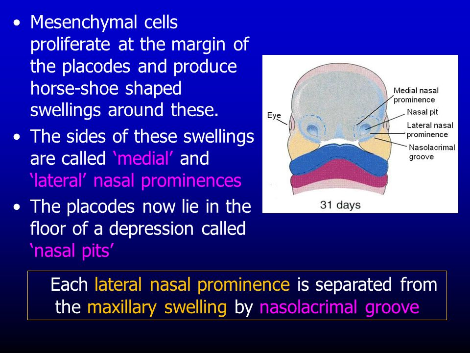 Mesenchymal cells proliferate at the margin of the placodes and produce horse-shoe shaped swellings around these.