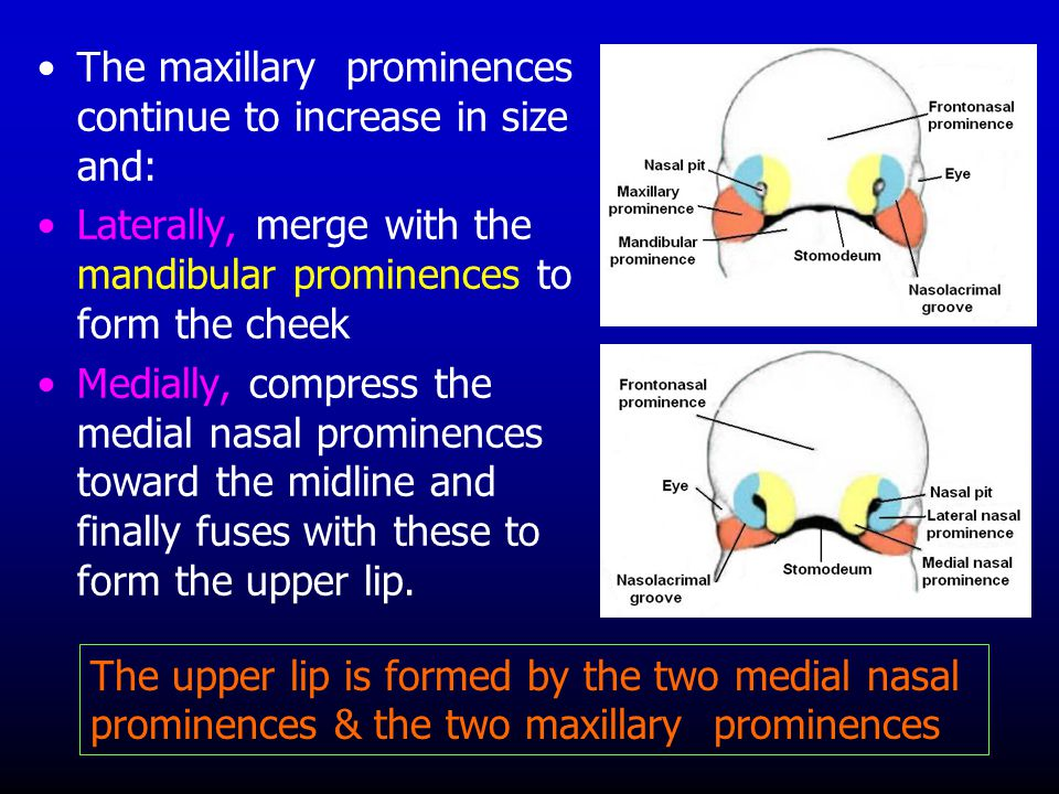 The maxillary prominences continue to increase in size and: